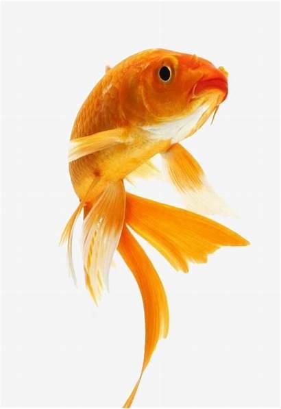 Fish Goldfish Golden Clipart Watercolor Pet Koi