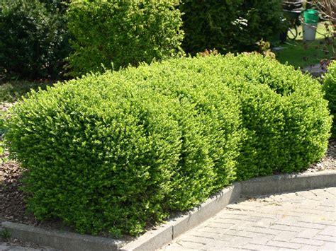 Vorgarten Baum Immergrün by Heckenmyrthe Maigr 252 N Lonicera Nitida Maigr 252 N
