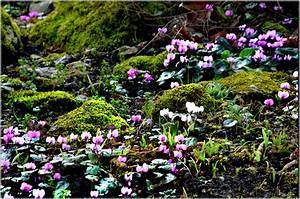 Alpenveilchen Im Garten : besucherfoto februar 2016 botanischer garten ~ Orissabook.com Haus und Dekorationen