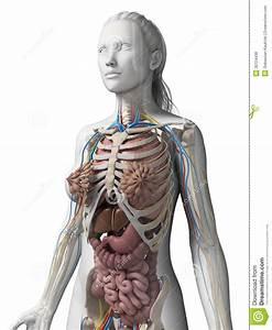Female Anatomy Stock Illustration  Illustration Of Diagram