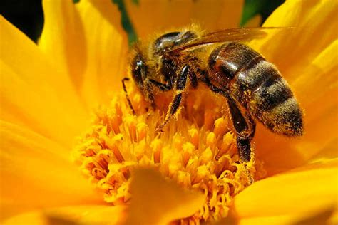 how long do bees live species and facts how long do