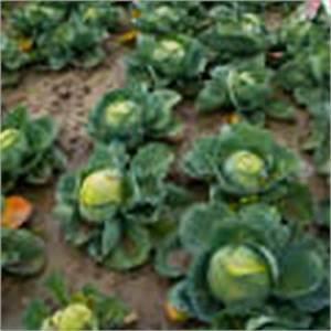 Planter Des Choux Fleurs : comment planter des concombres ~ Melissatoandfro.com Idées de Décoration