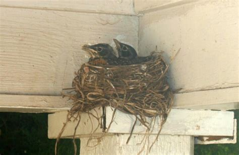 baby robins ready to leave nest birds pinterest