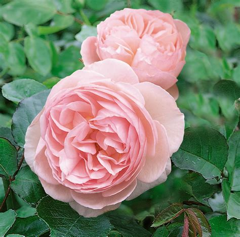 planting david roses planting more david austin roses the martha stewart blog