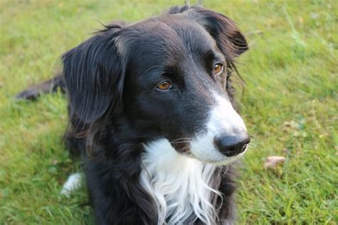 border collie temperament personality canna pet