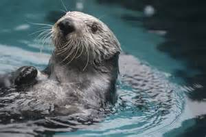Endangered Southern Sea Otter