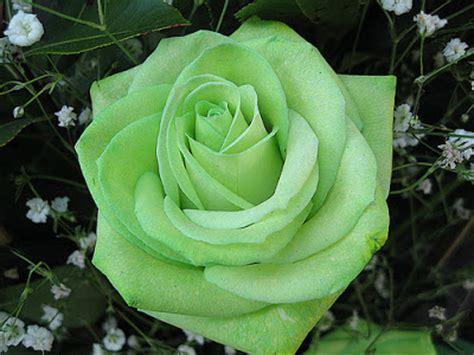 allinallwalls  beautiful green roses   world