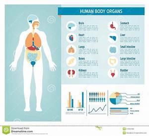 Human Body Infographics Stock Vector