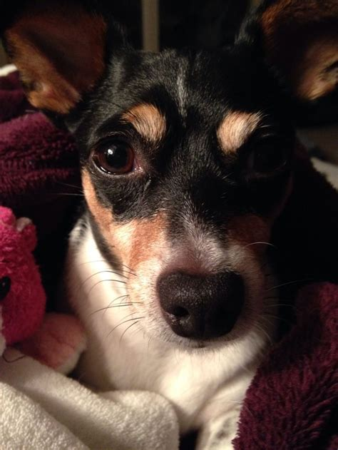 1000 images about rat terriers on pinterest chihuahuas