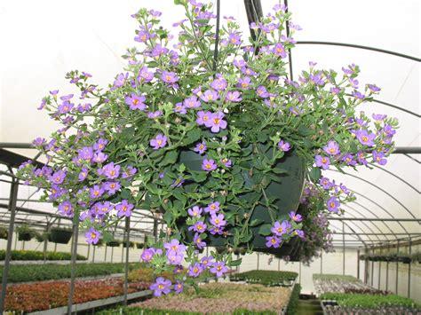 purple bacopa online plant guide bacopa sutera copia great purple