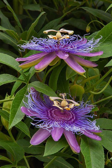 flower vines photo 1233 22 passion flower vine passiflora in antique rose emporium independence texas
