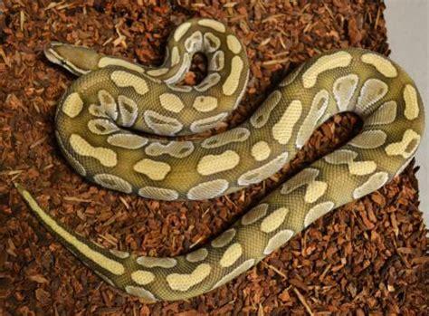 adult lesser ball pythons  sale