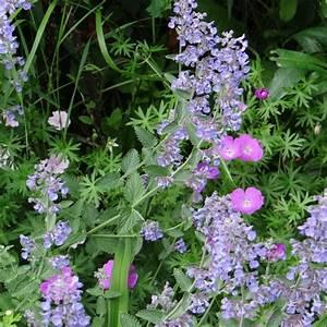 Plantes Et Jardin : nepeta mussinii plantes et jardins ~ Melissatoandfro.com Idées de Décoration