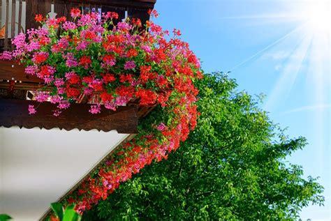 Blumen Für Sonnenbalkon by Die 11 Sch 246 Nsten Balkonpflanzen Moebeltipps Ch