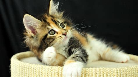 fluffy kitten wallpaper p earthly wallpaper p