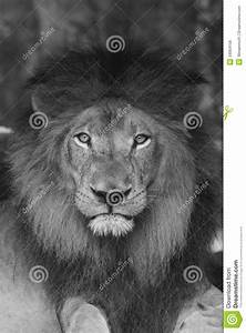 Lion  Stock Photo  Image Of Meat  Lion  Eater  Hunter