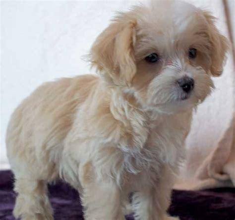 morkie puppy  sale  boca raton south florida