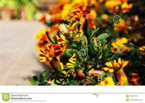 mesmerizing nature lovers marigolds wallpapers desktop suitable pink orange flower