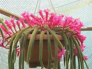 Disocactus flagelliformis (Rat Tail Cactus) World of Succulents