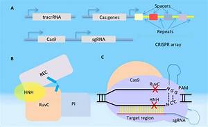 Components Of The Type Ii Crispr  Cas System  A  Genomic