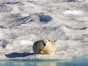 Polar Bear Facts and Adaptations - Ursus maritimus