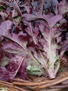 purple lettuce for moderns – Culinaria Eugenius  Purple