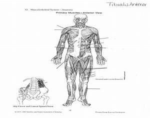 Primary Muscles