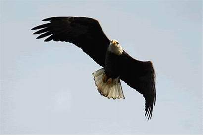 Gambar Burung Animasi Eagle Animated Eagles Elang