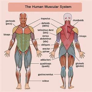 The 25  Best Human Muscular System Ideas On Pinterest