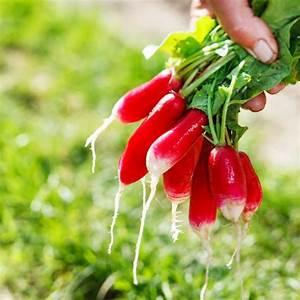 Culture Des Radis : jardin bio cultiver les radis ~ Melissatoandfro.com Idées de Décoration