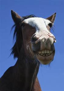 A Horse Smiling And Showing Its Teeth Photograph By John Short