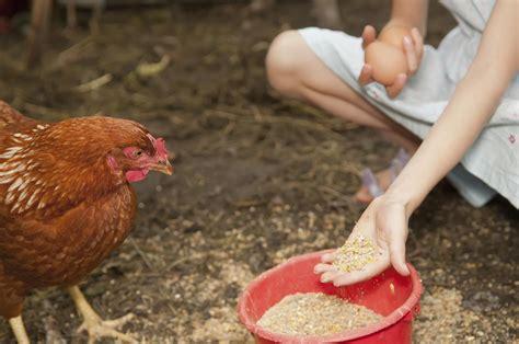 feed  chickens feeding hens