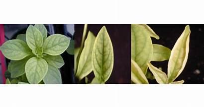 Deficiency Plants Iron Greenhouse Prevent Spring Symptoms