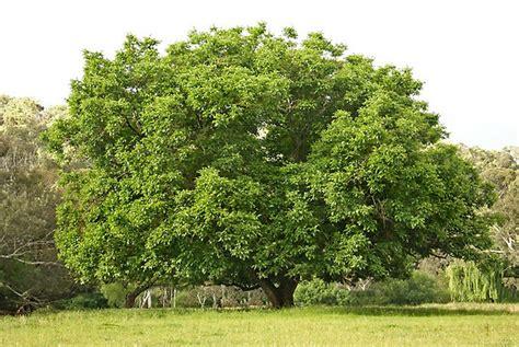 walnut tree walnut trees juglans species the garden of eaden