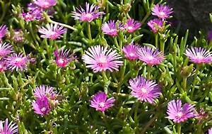 Bodendecker Blau Blühend Winterhart : bodendecker bl hend bodendecker pflanzen ideen f r ~ Michelbontemps.com Haus und Dekorationen