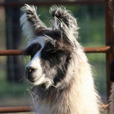 Cormac The Llama Beautiful  Llama Llama Llama Pinterest