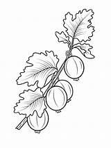 Coloring Gooseberry Berries Cranberry Printable Getcolorings Recommended sketch template