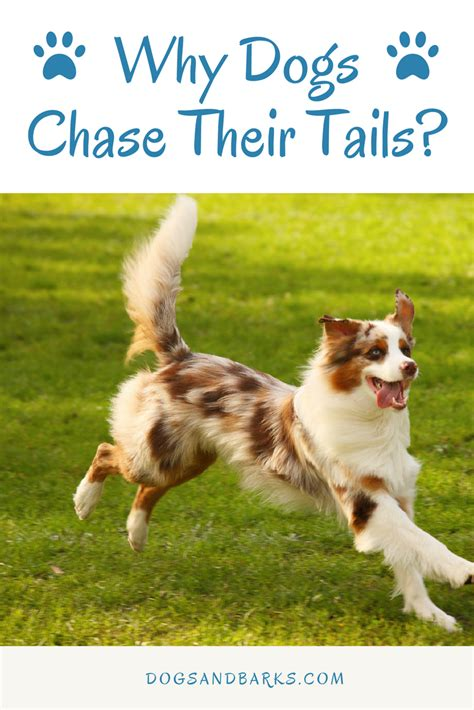 why do dogs their why does my dog chase their tail dogs and bark