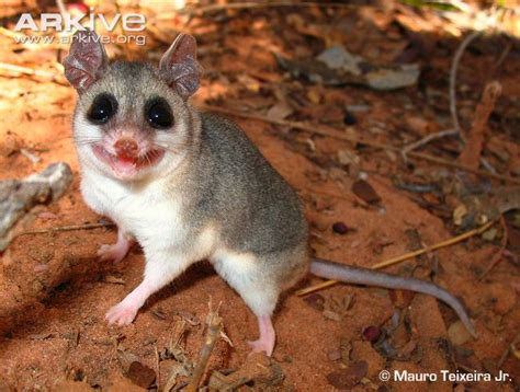 tailed opossum karimi s fat tailed mouse opossum videos photos and facts thylamys karimii arkive