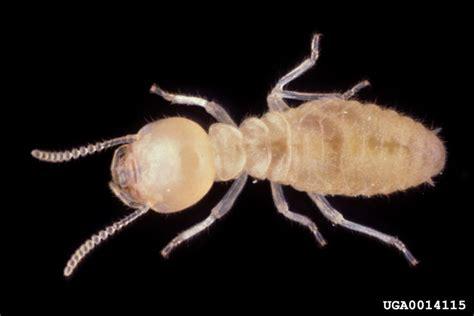 formosan subterranean termite coptotermes formosanus
