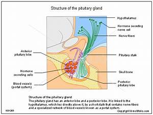 Structure Of The Pituitary Gland Illustrations