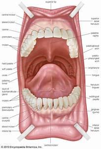 Oral Anatomy - Dental Health  U0026 Hygiene