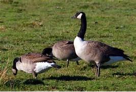 geese | El Space–The Blog of L. Marie