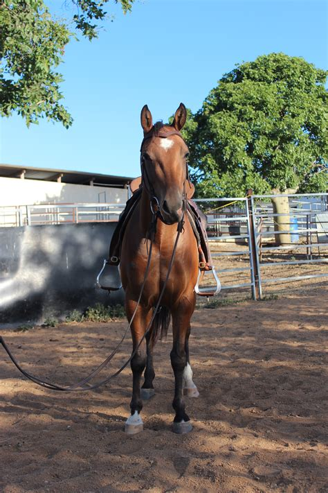 horse quarter filly bay horses shes player coast