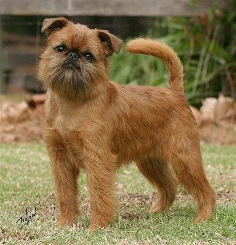 do brussels griffon shed 246 best images about brussels griffons on