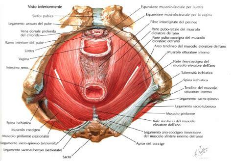 Muscoli Pavimento Pelvico by Pavimento P 233 Lvico Sabe O Que 233 Yogashalamatosinhos
