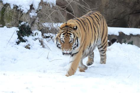 Amur Tiger The Water With Reflections Stock Image