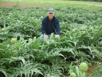 artichokes grow big  texas