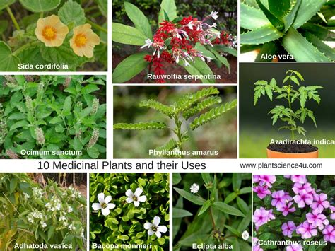 10 Medicinal Plants And Their Uses With Pictures Plant