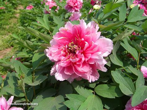 peony planting pink peony plant picture